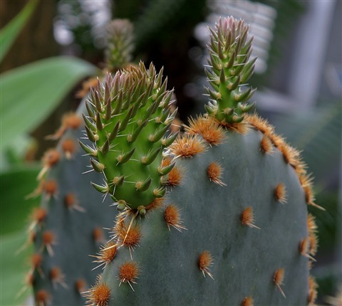 Cactus Shoots sm
