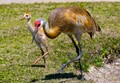 Sand hill crane learning to step on out with mom.