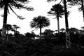Araucaria araucana