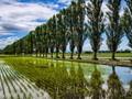 Poplars Reflection on Water-filled Paddy (Hokkaido, Japan)