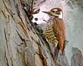 Arizona Woodpecker female