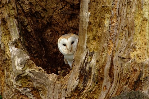 Barn Owl Peeking out