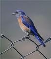 Bluebird, oh  bluebird, grant me a wish!