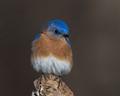 Bluebird 1600