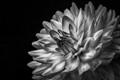 B&W Dahlia Flower