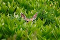 Deer in the Skunk Grass