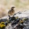 Rock Pipit IMG_1402