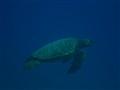 Green Turtle Maui