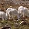 AAA 3 Goats
