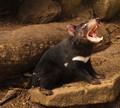 Yawning devil 3