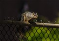 Gray squirrel, Sunland Park 2012