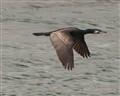 Bosporous Cormorant