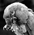 Silent Parrot