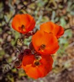 desert poppies