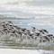 Sanderlings 03