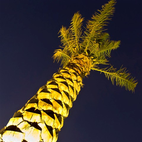 NIGHT PALM low