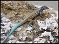Caribbean Whiptail Blue Lizard