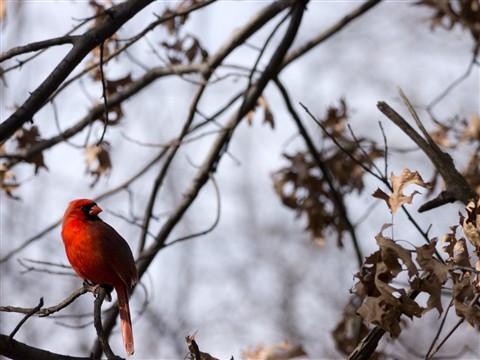 2012-02-21 Central Park Cardinal 1