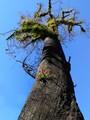 Eucalypt reshooting