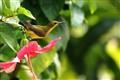 Olive-backed Sunbird, Malaysia