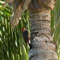 Carpintero Yucateco (Woodpecker)