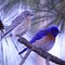 Western Blue Bird pair