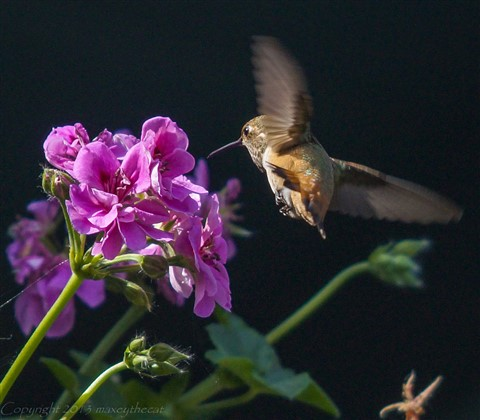 Hummingbird Friday 9