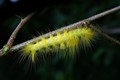 yellow hair catepillar