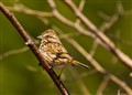 Adirondack Chipping Sparrow