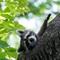 Raccoon in the Rambles