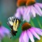 Swallow Tail on cone flower