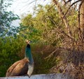 Peahen relaxing on my wall