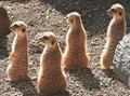 Meerkat Quartet