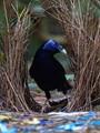 Male Satin Bowerbird tending his bower