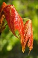 Newborn Red Oak Leaves