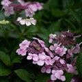 butterfly visiting hortensia