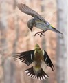 Goldfinch vs Pine Siskin