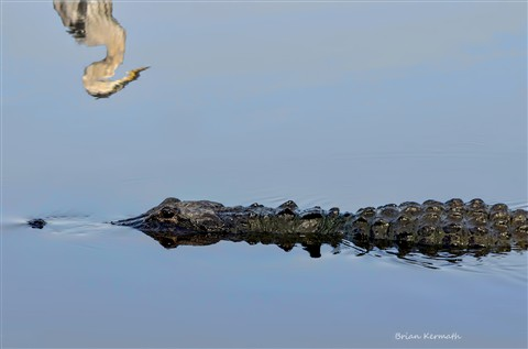 American alligator (Alligator mississippiensis) with a great blue heron (Ardea herodias) reflection