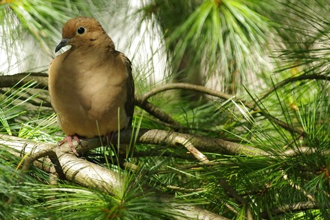 Mourning Dove in Pine Tree
