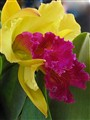 Tropical beauty - Cattleya orchid