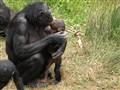 Bonobo at the Apenheul