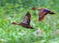Philippine Ducks in Flight