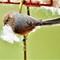 Refurbishing the nest. (2)