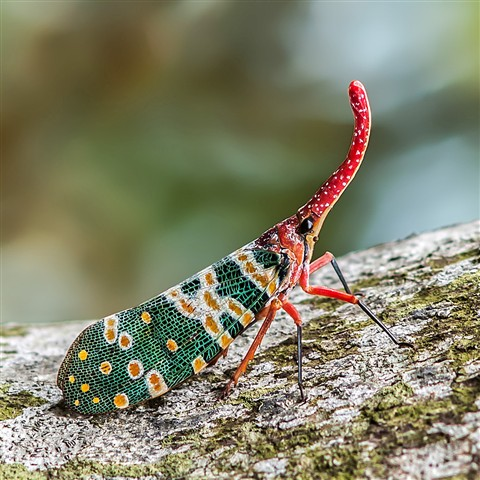 Lanternfly Pyrops candelaria P2201159f