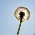 Dandelion sun shade (for camera)