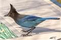 A Steller's Jay (Cyanocitta stelleri)