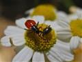 Bug Vs . Beetle
