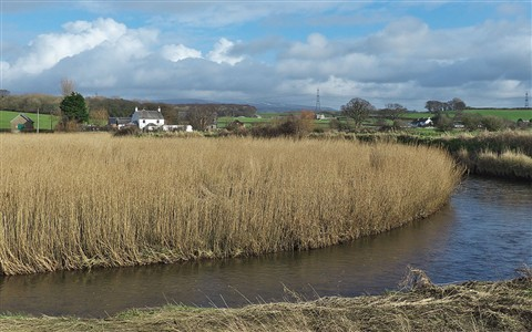 Conder reed bed