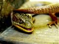monster lizard