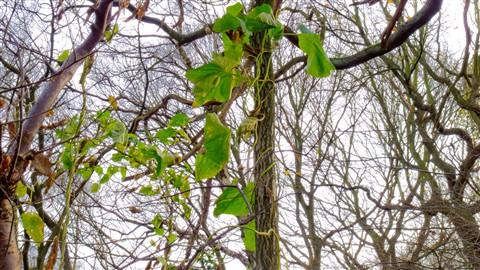 vines_trees_2 (1 of 1)
